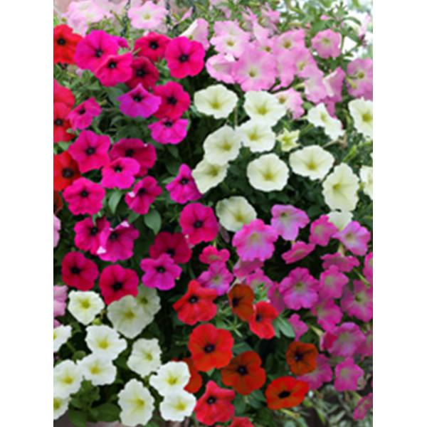 Семена цветов Петуния смесь